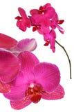 花兰花粉红色 库存照片