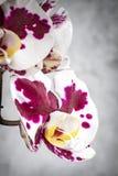 花兰花紫色白色 库存照片