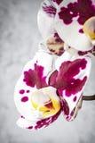 花兰花紫色白色 免版税图库摄影