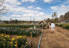 花农场在泰国 库存照片