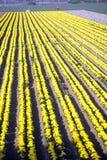 花农场, Lompoc,加州 免版税图库摄影