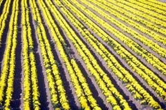 花农场, Lompoc,加州 免版税库存照片