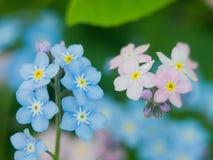 花勿忘草蓝色和桃红色作为爱和和谐联系性的男孩和女孩态度的概念  库存图片