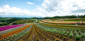 花北海道,日本2015年7月的领域 免版税库存图片