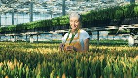 花匠从地面收集黄色郁金香自温室 股票录像