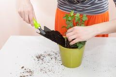 花匠倾吐地球入移植的植物的一个罐 家庭从事园艺的调迁的房子植物 免版税库存照片