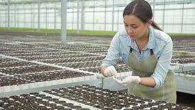 花匠喜欢植物自温室去除小罐杂草莴苣 射击从生长菜之间的道路 股票视频
