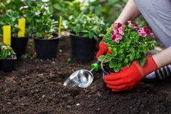 花匠在庭院里递种植花,照片的关闭 库存图片