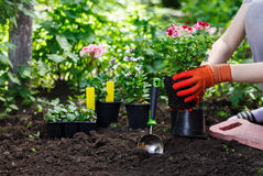 花匠在庭院里递种植花,照片的关闭 免版税图库摄影