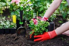 花匠在庭院里递种植花,照片的关闭 免版税库存照片