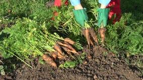 花匠在收获新鲜的红萝卜的秋天 股票录像