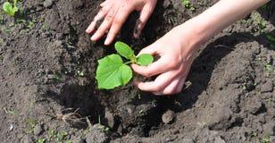 花匠在春天的种植黄瓜厂 免版税库存图片