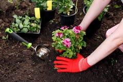 花匠妇女在她的庭院、庭院维护和爱好概念里的种植花 库存照片
