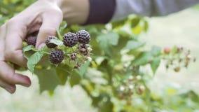 花匠妇女聚集从灌木枝杈的黑莓莓果在庭院里 健康自然营养 关闭射击 股票视频