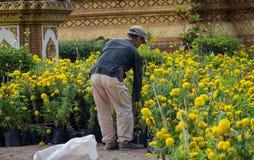 花匠安排金盏草植物 免版税库存图片