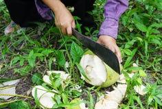 花匠是被剥皮的椰子 库存照片