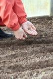 花匠植入土壤母猪 库存图片