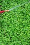 花匠浇灌有浪花橡胶软管的,垂直的照片的` s手鲜绿色的恶魔` s常春藤植物 库存照片
