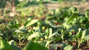 花匠浇灌的菜在菜园里 t 好的天气为生长植物 温暖的神色 1 股票录像