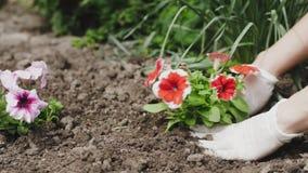 花匠种植在土壤的妇女手花