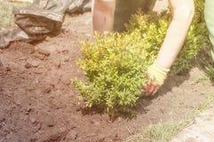 花匠种植黄杨木潜叶虫的布什 库存图片