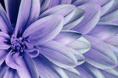 花卉五颜六色的紫罗兰色蓝色绿松石美好的背景 背景构成旋花植物空白花的郁金香 菊花花特写镜头 免版税库存照片