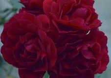 花卉唯一芽自然婚礼瓣言情植物群植物庭院绿色瓣花束开花绽放玫瑰色花白色p 免版税库存照片