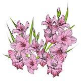花卉开花的剑兰手拉的传染媒介例证 免版税库存照片