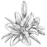 花卉开花的百合导航例证手拉的传染媒介例证现实剪影 库存例证