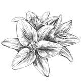 花卉开花的百合导航例证手拉的传染媒介例证现实剪影 皇族释放例证