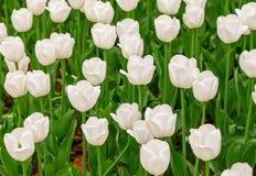 花卉明亮背景被日光照射了郁金香美丽的白花 免版税库存图片