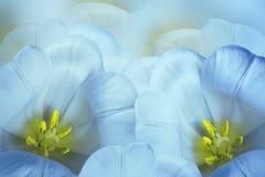 花卉春天明亮的蓝色背景 花青黄色郁金香开花 特写镜头 2007个看板卡招呼的新年好 免版税库存照片