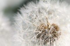 花卉春天背景用一个精美空气蒲公英 免版税库存照片