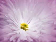 花卉桃红色白的美好的背景 一朵白色菊花的花反对浅兰的瓣背景的  特写镜头 库存图片