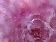 花卉桃红色背景从上升了 开花构成 一朵蓝色玫瑰的花在一透明蓝色背景bokeh的 特写镜头 免版税库存照片