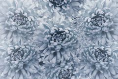 花卉浅兰的美好的背景 背景构成旋花植物空白花的郁金香 花花束从浅兰的菊花的 特写镜头 库存图片