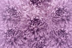 花卉浅粉红色的美好的背景 背景构成旋花植物空白花的郁金香 花花束从桃红色菊花的 特写镜头 免版税库存照片