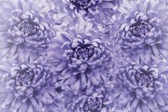 花卉浅紫色的美好的背景 背景构成旋花植物空白花的郁金香 花花束从紫罗兰色菊花的 特写镜头 库存图片