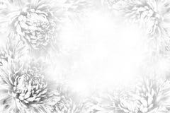 花卉灰色白的美好的背景 背景构成旋花植物空白花的郁金香 白花翠菊框架在白色背景的 库存照片