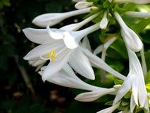 花卉玉簪属植物 免版税库存照片