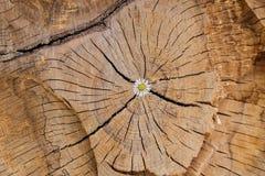 花卉生长在木日志 免版税库存图片