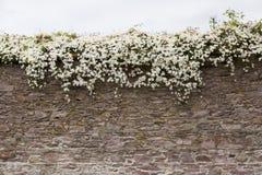 花卉生长结束古老爱尔兰石墙 库存照片