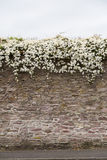 花卉生长结束古老爱尔兰石墙 免版税图库摄影