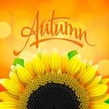 花卉秋天背景用向日葵 库存图片