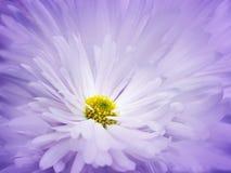 花卉紫罗兰色白的美好的背景 一朵白色菊花的花反对浅兰的瓣背景的  特写镜头 免版税图库摄影