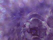 花卉紫罗兰色背景从上升了 开花构成 一朵紫色玫瑰的花在一透明蓝色背景bokeh的 库存图片