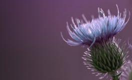 花卉紫罗兰色背景 蓝色棘手的蓟花 在紫罗兰色背景的一朵蓝色花 特写镜头 免版税库存照片