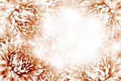 花卉红白的美好的背景 背景构成旋花植物空白花的郁金香 红白的花翠菊框架在白色背景的 图库摄影