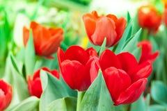 花卉红色郁金香 免版税库存照片