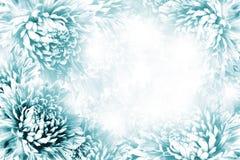 花卉绿松石白的美好的背景 背景构成旋花植物空白花的郁金香 绿松石框架开花在白色背景的翠菊 库存图片